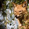 Golden Jackal (Canis aureus)<br /> Bharatpur, India<br /> IUCN Status: Least Concern