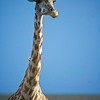 Giraffe (Giraffa camelopardalis)<br /> Masai Mara National Park, Kenya<br /> IUCN Status: Least Concern (trend: increasing)