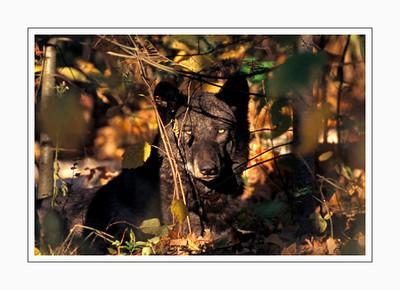 mammals_WOLF