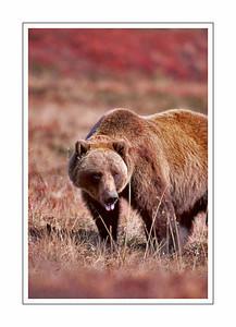 mammals_Bear-18