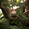 Hoffmann's Two-toed Sloth (Choloepus hoffmanni)<br /> Guapiles, Costa Rica<br /> IUCN Status: Least Concern