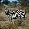 Plains Zebra (Equus quagga)<br /> Near Amboseli National Park, Kenya<br /> IUCN Status: Least Concern