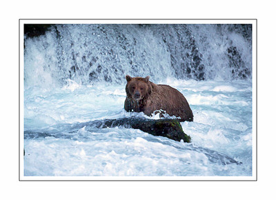 mammals_Bear-22