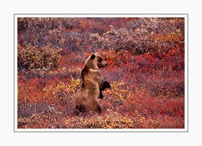mammals_StandingBear