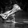 Common Hippopotamus (Hippopotamus amphibius)<br /> Near Mombasa, Kenya<br /> IUCN Status: Vulnerable (trend: decreasing)