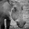 Common Warthog (Phacochoerus africanus)<br /> Near Amboseli National Park, Kenya<br /> IUCN Status: Least Concern