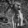 Yellow Baboon (Papio cynocephalus)<br /> Rombo, Kenya<br /> IUCN Status: Least Concern