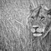 African Lion (Panthera leo)<br /> Masai Mara National Park, Kenya<br /> IUCN Status: Vulnerable (trend: decreasing)