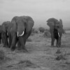 African Elephant (Loxodonta africana)<br /> Near Amboseli National Park, Kenya<br /> IUCN Status: Vulnerable (trend: increasing)