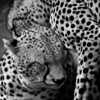 Cheetahs (Acinonyx jubatus) grooming<br /> Near Nairobi National Park, Kenya<br /> IUCN Status: Vulnerable (trend: decreasing)