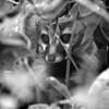 Common Genet (Genetta genetta)<br /> Rombo, Kenya<br /> IUCN Status: Least Concern