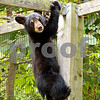 Black Bear Cub in Turkey Pen<br /> Bear Cut Mountain Meadows Bedford Co. PA
