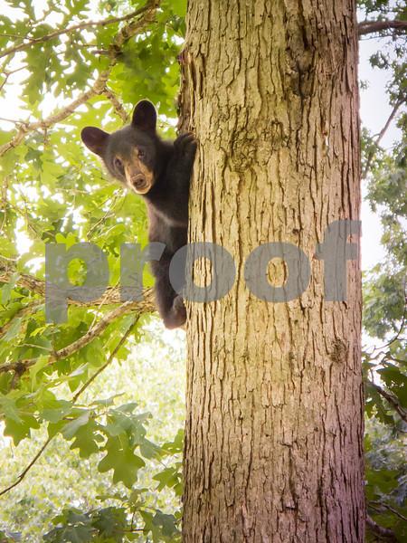 Black Bear Cub Up A Tree<br /> Black Bear Cub Mountain Meadows Bedford Co. PA