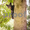 Black Bear Cub Up A Tree<br /> Black Bear Cub Mountain Meadows Bedford Co. PA