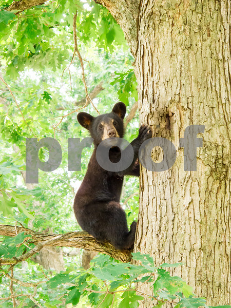 Where's Mom?<br /> Black Bear Cub Mountain Meadows Bedford Co. PA