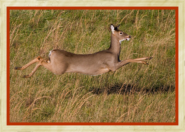 White Tail Deer on the run.