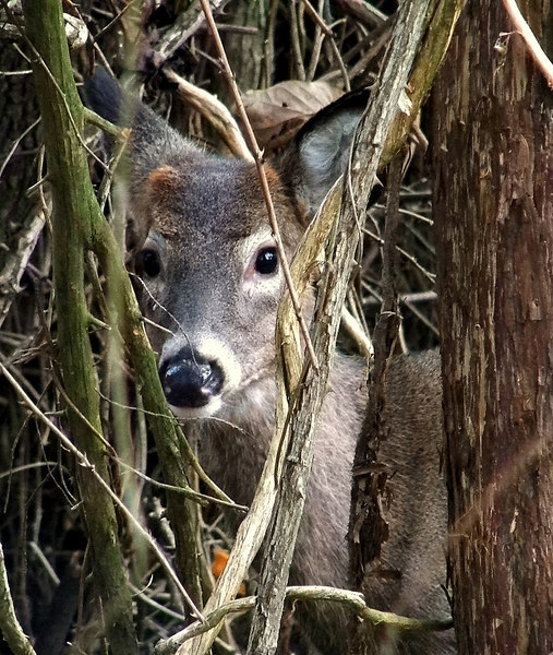 This was taken from the driver's seat in my car. As I was leaving the park, a young buck jumped out of the trees and made me slam on my brakes. Then he nonchalantly sauntered into the brush and glared at me! Like it was MY fault :)