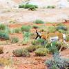 Pronghorn Antelope - Utah - Sept 2005