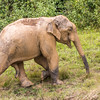 Cheow Lan Lake  - playful and very muddy elephant (teenager)