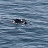 Dolphins @ Mizen Head, Ireland