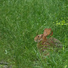 Cottontail - June 2008, NJ