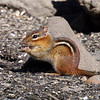 Chipmunk @ Greenbrook