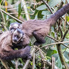 Brown Capuchin Monkeys