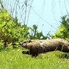Groundhog (running for his life) - May 2012, Overpeck County Park, NJ