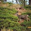 Mule Deer - Utah - Sept 2005