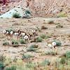 Pronghorn Antelopes - Utah - Sept 2005