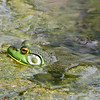American Bullfrog - Boscobel, NY - May 2008