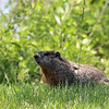 Groundhog - May 2012, Overpeck County Park, NJ