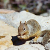 Rock Squirrel - Aug 2005, Utah