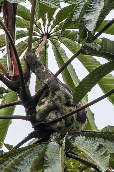 Sleeping sloth at Manu Learning Center