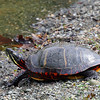 Painted Turtle - Boscobel, NY - May 2008