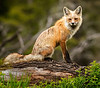 Red fox on the lookout.  Yellowstone National Park, WY, USA<br /> Accepted juried image (Color Nature - Mammals)  2015 International Exhibition of Photography