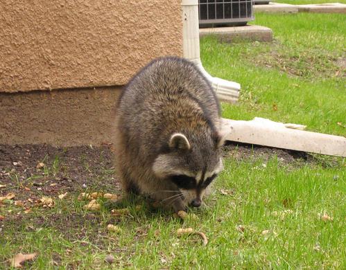 Raccoon having some peanuts (125_2563)