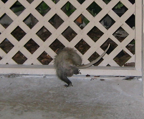 Rear view of an opossum trying to escape through the fence (144_4470)