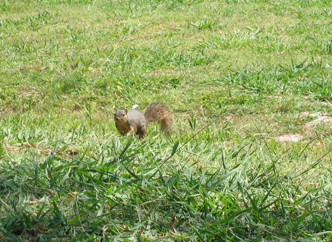An eastern fox squirrel (Sciurus niger) approaching me from a distance (146_4643)