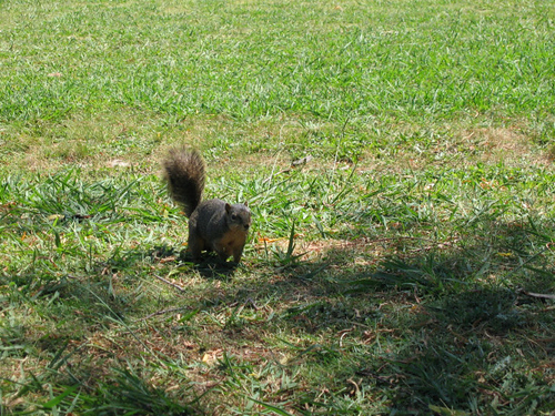 An eastern fox squirrel (Sciurus niger) approaching me from a distance (146_4645)