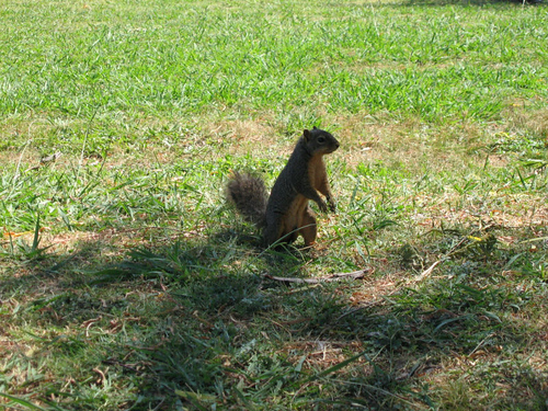An eastern fox squirrel (Sciurus niger) standing and looking at me (146_4646)