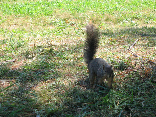 An eastern fox squirrel (Sciurus niger) approaching me from nearby (146_4647)