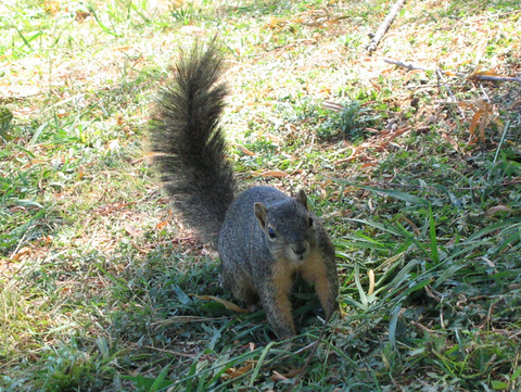 An eastern fox squirrel (Sciurus niger) standing quite near and watching me (146_4649)
