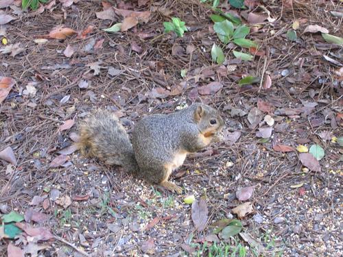 Eastern fox squirrel (Sciurus niger) having a quick nibble of food (149_4997)