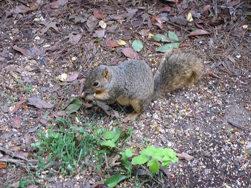 Eastern fox squirrel (Sciurus niger) having a quick nibble of food (150_5006)
