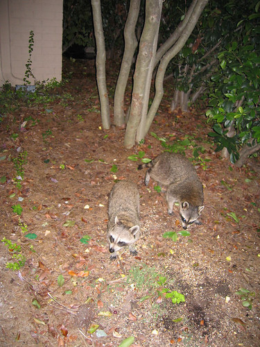 Two raccoons visiting the patio for dinner (150_5010)