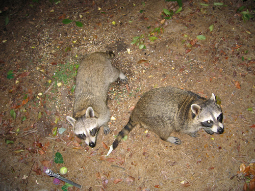 Two raccoons approaching my patio to get some dinner (150_5013)