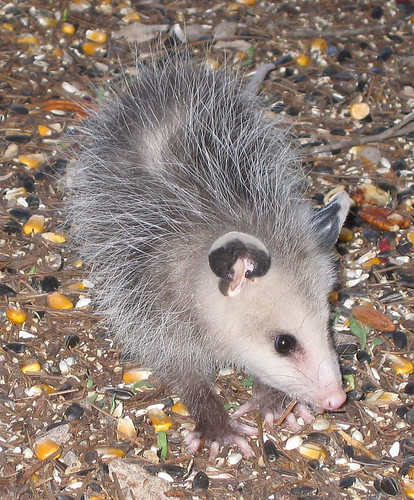 Close-up of the baby opossum showing his scale against sunflower seeds and corn kernels (150_5099)