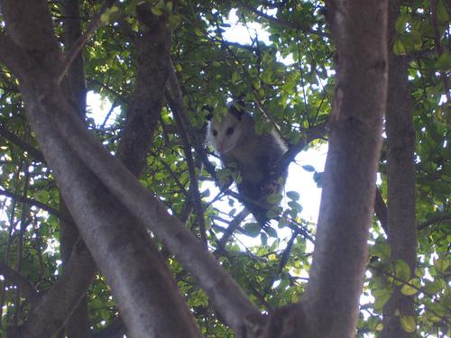Juvenile opossum hiding in the tree (154_5435)