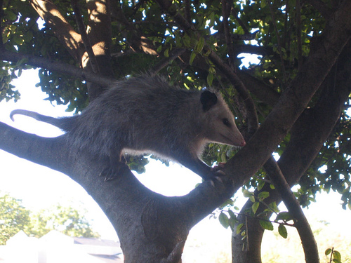 Juvenile opossum sitting on a near limb deciding if it is safe to climb down (154_5457)